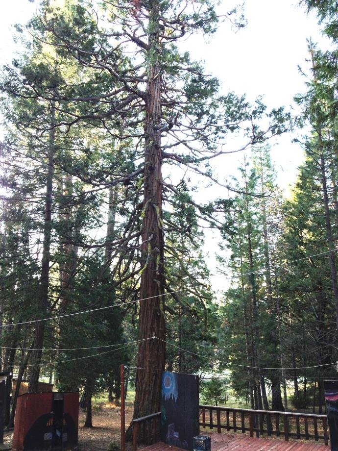 Campfire tree
